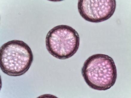 Lamprocapnos spectabilis – Bleeding Heart