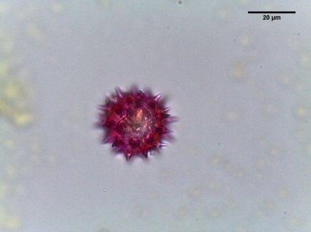 Echinacea 'Fragrant Angel' – Purple Coneflower