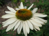 Echinacea 'Fragrant Angel' – Purple Coneflower