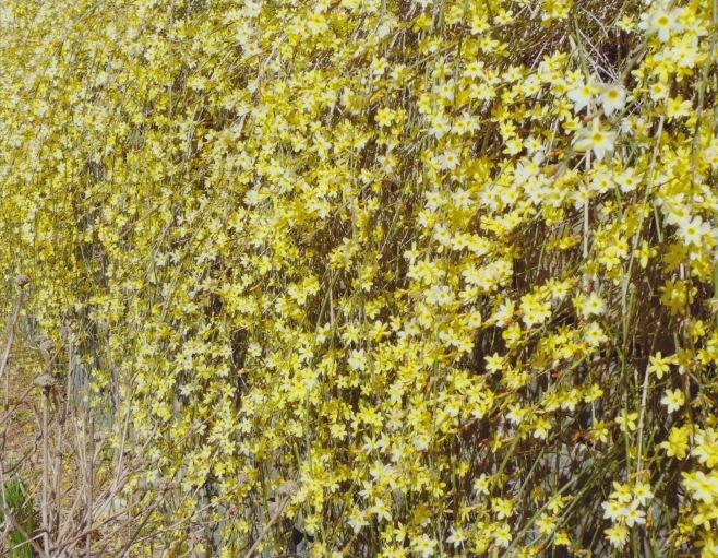 Jasminum nudiflorum – Winter Jasmine