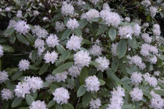 Rhododendron minus – Piedmont Rhododendron
