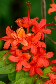 Rhododendron prunifolium – Plumleaf Azalea
