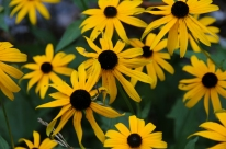 Rudbeckia fulgida – Orange Coneflower