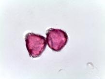 Capsicum annuum – Pepper