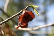 Asimina triloba – Pawpaw Tree
