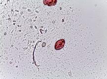 Heuchera spp. – Coral Bells