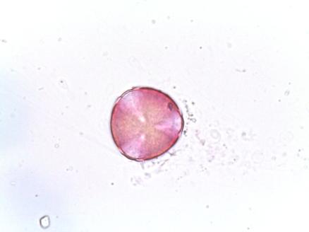 Pyracantha coccinea – Scarlet Firethorn