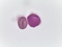 Penstemon calycosus-Smooth Beardtongue