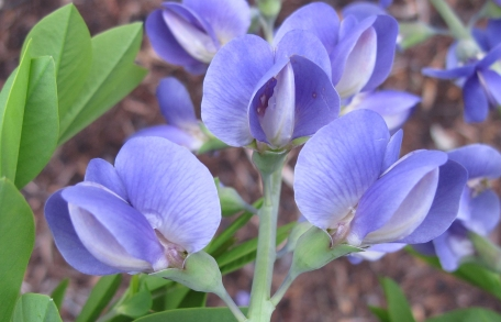 Baptista australis - Blue False Indigo