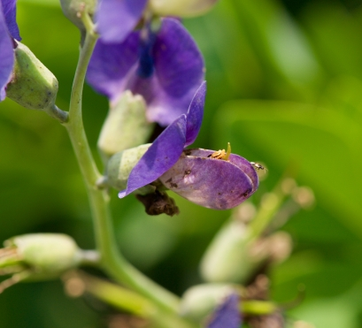 Baptista australis - Blue False Indigo