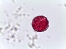 Begonia spp. – Begonia