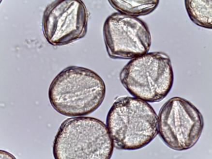 Chamaecrista fasciculate - Partridge Pea