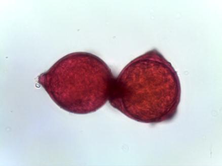 Elaeagnus pungens – Thorny Olive