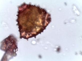 Heptacodium miconioides – Seven-Son Flower