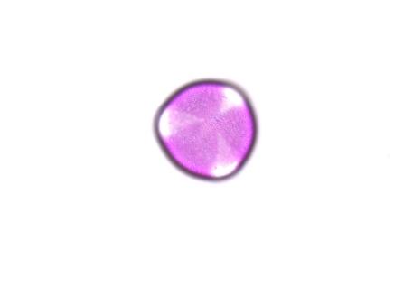 Penstemon smallii017