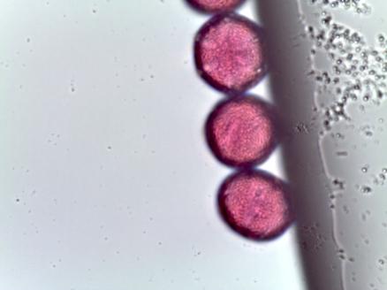 Salvia officinalis – Common Sage