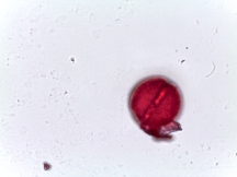 Clematis orientalis – Orange Peel Clematis