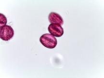 Clematis recta – Clematis