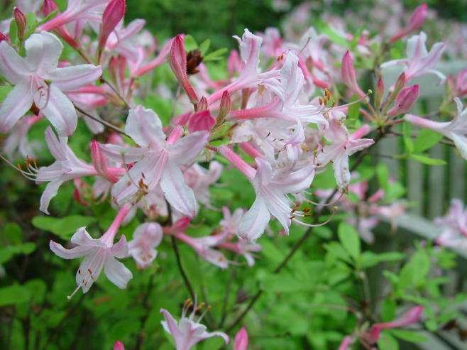 Rhododendron atlanticum – Dwarf Azalea