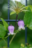 Clematis hybrid – Clematis