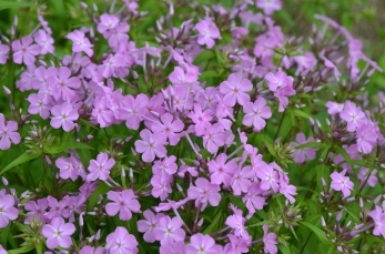 Phlox carolina 'Kim' – Thickleaf Phlox