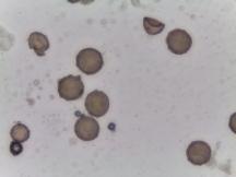 Trillium sulcatum – Furrowed Wakerobin