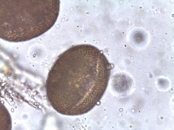 Fagopyrum esculentum – Buckwheat