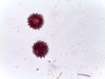 Coreopsis 'Cherry Lemonade' – Tickseed