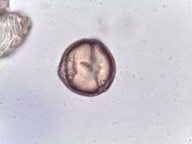 Stewartia pseudocamellia – Japanese Stewartia